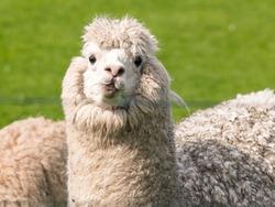 A white funny alpaca