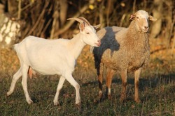 a white goat and a sheep graze in a field, the animals are out for a walk