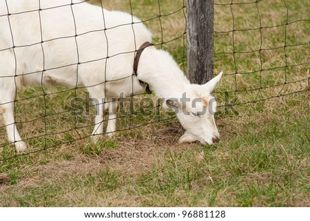 A white goat eating with it's head through the fence depicting that the grass is greener on the other side