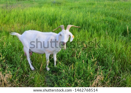 A white goat with long horns and an orange marker on its ear grazes on a green meadow among the field grass. She chews grass. Сlose up. Morning light. Negative field. Nice picture of rural life.
