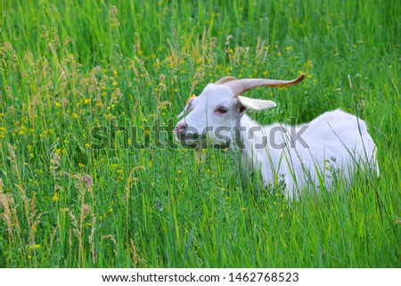 A white goat with long horns chews grass on a green meadow. The object is on the right side of the frame. Evening light. Negative field. An idyllic picture of village life.