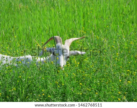 A white goat with long horns peeps out of the grass on a green meadow. Сlose up. The object is on the left side of the frame. Sunlight. Negative field. Beautiful summer picture.