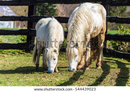 A white haired horse and its pony feeding in a fenced green grazing field #544439023