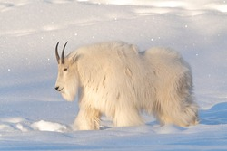 A white, hairy mountain goat seen in northern Canada. Side profile of beautiful goats with snowy background, snow white landscape. Horns and beard.