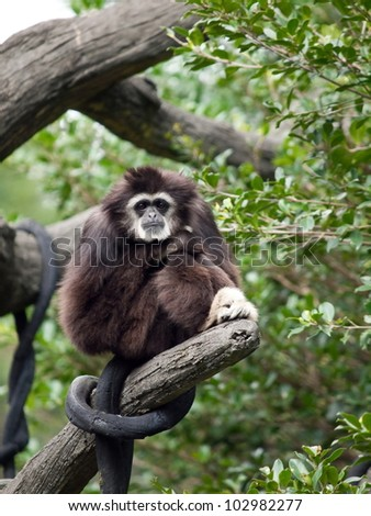 A white handed gibbon standing in its perch, staring at the camera.