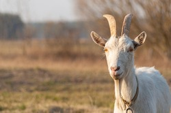 A white horned goat head on blurry natural background