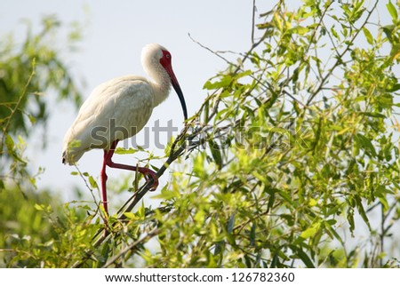 A white Ibis bird standing in a tree
