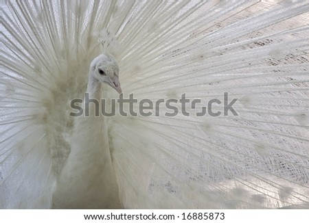 A white Indian Peacock with its plumage erect - stock photo