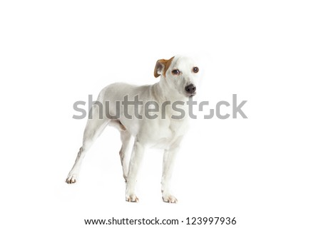 A white Jack Russell Terrier with a brown ear on a white background