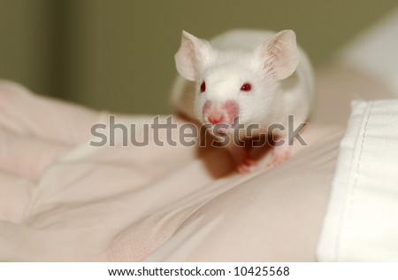 A white laboratory mouse (albino) as used in scientific experiments.