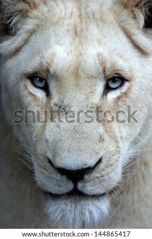 Stock Photo A white lioness looking intensely with her blue eyes in this beautiful close up photo of her face. This was taken at Pumba game reserve,eastern cape,south africa