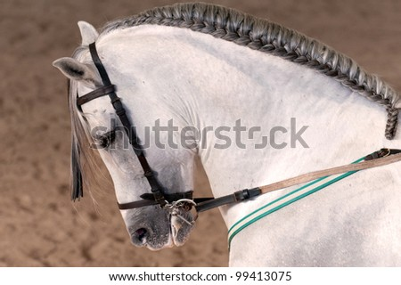 a white lipizzaner with plaited mane