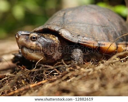 A White-lipped Mud Turtle in Costa Rica