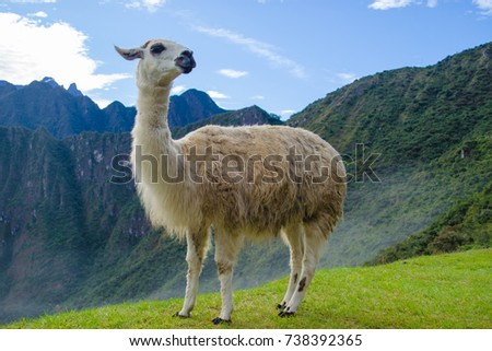 A white llama (lama glama), typical peruvian mammal animal, with the lost inca city of machu picchu as background. cusco, macchu pichu, peru