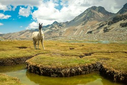 A White Llama Staring at the Camera over the Grass in the Valley of the Llamas near the snowy Condoriri, a Mountain in Bolivia's Cordillera Real