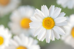 a white marguerite flower isolated, several other marguerite flowers on background.