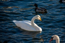 A white mute swan (Cygnus olor) swimming in a water reservoir. Selected focus.