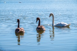 A white mute swan with orange and black beak and young brown coloured offspring with pink beak swimming in a lake with blue water on a winter sunny day. The mute swan, latin name Cygnus olor.