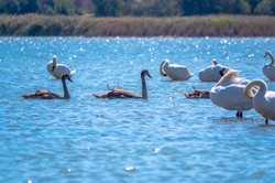 A white mute swans with orange and black beak and young brown coloured offspring with pink beak swimming in a lake with blue water on a winter sunny day. The mute swan, latin name Cygnus olor.