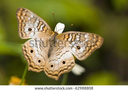 A white peacock butterfly resting on a white daisy flower - stock photo