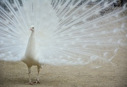 A white peacock spreading its feathers