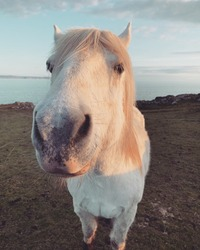 A white pony says hello on a remote island on the Scottish west coast. Horses are very majestic.