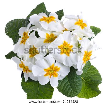 A white primrose isolated on white - stock photo
