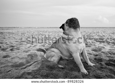A white pug dog poses at the beach - stock photo