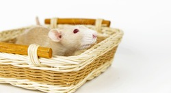 A white rat in a basket on a white background