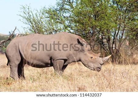 A White Rhino amongst trees