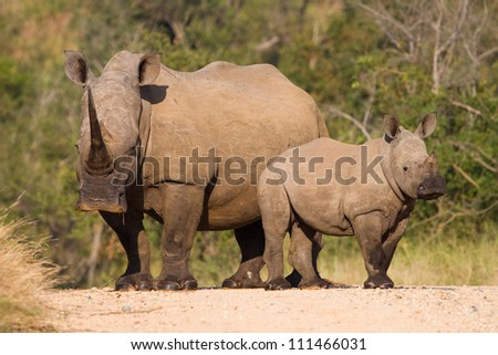 A white rhino mother and calf standing in the road in the Kruger National Park, South Africa