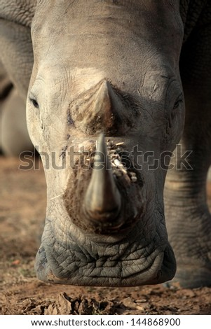 A white rhino / rhinoceros walks past in beautiful golden sunlight during a safari in south Africa
