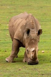 A white rhino,  rhinoceros with big horns grazing in an field