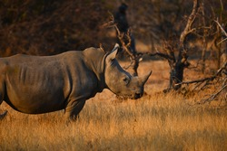 A white rhino with a red-billed oxpeckers at dawn on the woodlands of the Greater Kruger area, South Africa