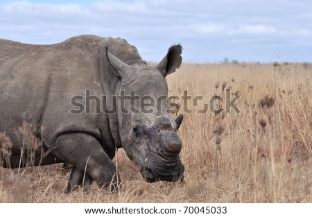 A White Rhinoceros in South Africa dehorned to protect it against poachers.