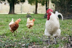 a white rooster and two red hens walking freely in nature in spring