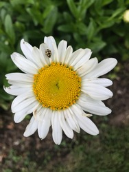 A white Shasta Daisy with a Ladybird beetle on top of it