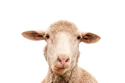 A white sheep, face only, chewing, looking at camera, isolated, against white  background, copy space, clean edit,