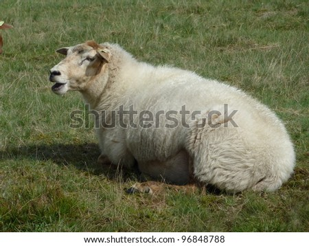 A white sheep on the moor fields in Drenthe in the Netherlands - stock photo