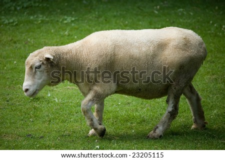 A white sheep walking over a meadow #23205115