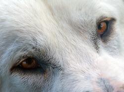 A white shepherd dog at a farmland a daytime