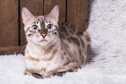 A white snow bengal cat with big blue eyes, is lying  on a white fluffy blanket with a wooden box in the background.