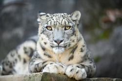A white Snow leopard lies with piercing yellow eyes