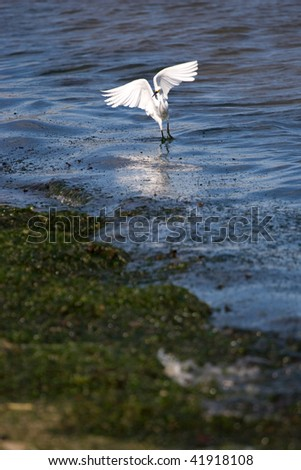 A white snowy egret bird spreading its wings by the beach.