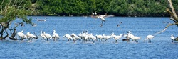 A white spoonbill flies above a large group of spoonbills standing in water, Wide long cover or banner..