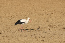 A white stork walks in spring on a freshly plowed field with a list of food. Life of migratory birds. The agricultural sector. Growing grain on the farm. Animals protected by the law. Frogs hunter
