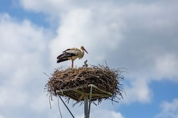A white stork with black bird ring on his leg standing on nest made of twigs placed on a metallic pole. Little offsprings showing their heads. Sunny spring day with blue sky and clouds.