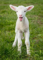 a white suffolk lamb, a few days old, standing on the grass, bleating