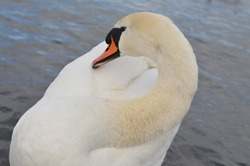 A white swan in the water on a sunny day. It's pure white feathers shine brightly in the sun
