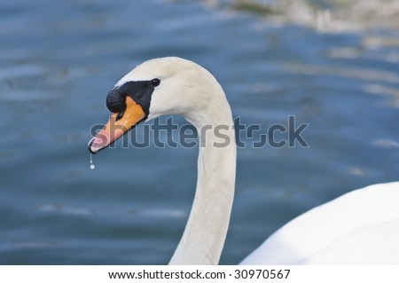 A white swan swimming in a canal in Fukuoka, Japan with some water dripping from its beak.  Primary focus is the facing eye (http://www.artistovision.com/animals/dripping-swan.html).